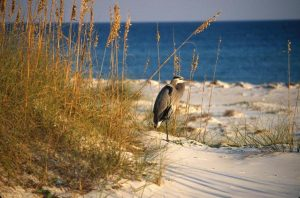 Heron on Beach Bickel